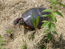 Turtle in grass Royalty Free Stock Image