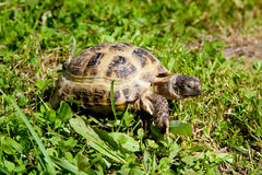 Turtle on grass. Turtle walks and feeds on the green grass Royalty Free Stock Photo