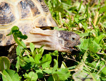 Turtle on grass Stock Images