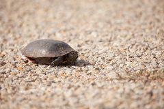 Turtle on gravel. A turtle on a gravel road peaking out of its shell Stock Photo