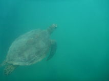 Turtle. In the Great Barrier Reef Royalty Free Stock Photo