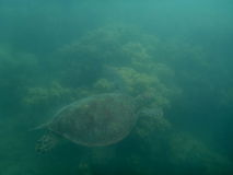Turtle. In the Great Barrier Reef Royalty Free Stock Images