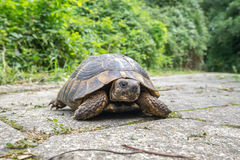 Turtle. Greece Stock Photography