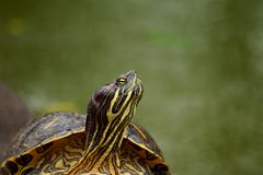 Turtle with green background Royalty Free Stock Image