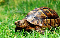 Turtle on green grass. Looking at you Royalty Free Stock Photos