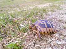 Turtle in green grass field Stock Image