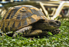 Turtle on green grass Stock Photos