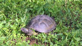 Turtle among green grass stock footage