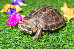 Turtle on green grass texture background eco concept, asia, thai Stock Photo