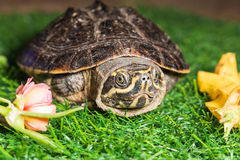 Turtle on green grass texture background eco concept, asia, thai Royalty Free Stock Photos