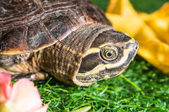 Turtle on green grass texture background eco concept, asia, thai Royalty Free Stock Image