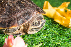 Turtle on green grass texture background eco concept, asia, thai Stock Image