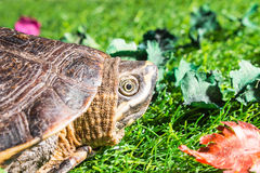 Turtle on green grass texture background eco concept, asia, thai Royalty Free Stock Images