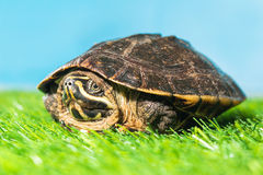 Turtle on green grass texture background eco concept, asia, thai Stock Images
