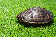 Turtle on green grass texture background eco concept, asia, thai Royalty Free Stock Photography