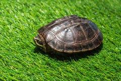 Turtle on green grass texture background eco concept, asia, thai Stock Photos