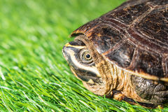 Turtle on green grass texture background eco concept, asia, thai Stock Photography