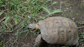 Turtle in green grass. Top view stock video footage