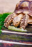 Turtle on the green meadow eats Royalty Free Stock Image
