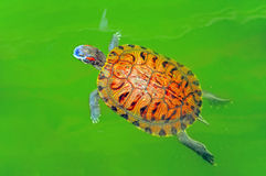 Turtle in green pond. Close up of a turtle swimming in green pond in hong kong Royalty Free Stock Image
