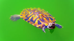 Asian terrapin turtle in green pond  Stock Photography