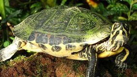 Turtle. In the greenhouse, Botanical Garden, Munich, Bavaria, Germany stock video