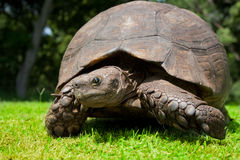 Turtle grin Stock Photos