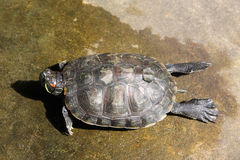 Turtle on the ground. Royalty Free Stock Image