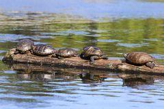 Turtle Group on a Tree Log in Goodacre Lake Beacon Hill Public Park Victoria BC Canada stock photos