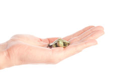 Turtle in a hand Stock Images