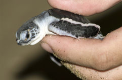 Turtle in  hand. Stock Images