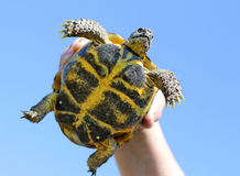 Turtle in hand Stock Images