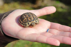 Turtle in hand Stock Photos