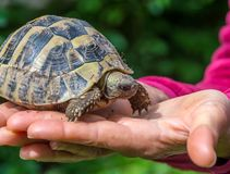 Turtle on the hand. Geochelone sulcata. Close - up Royalty Free Stock Photos
