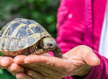 Turtle on the hand. Geochelone sulcata. Close - up Royalty Free Stock Images