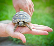 Turtle in hand - on palm Stock Image