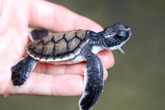 Turtle in Hand. A young turtle in Sri Lanka Stock Photo