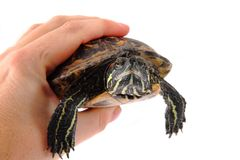 Turtle in the hands royalty free stock photos