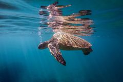Turtle Breathing. A turtle hangs on the surface Stock Photos
