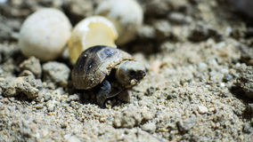 Turtle hatching. Baby turtle just hatching in few hours stock images