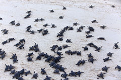 Free Turtle Hatchlings Stock Photos - 34129883