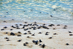 Free Turtle Hatchlings Royalty Free Stock Image - 34130126