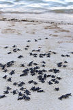 Turtle Hatchlings Stock Photography