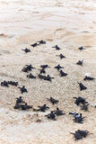 Turtle Hatchlings. Taking their first steps down the beach and into the ocean Stock Images