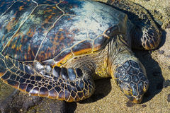 Turtle on Hawaiian beach Royalty Free Stock Images
