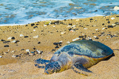 Turtle on Hawaiian beach Stock Images