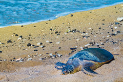 Turtle on Hawaiian beach Stock Photos