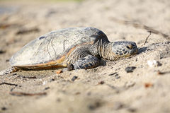 Turtle - hawaiian sea turtles on Hawaii Royalty Free Stock Photos