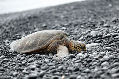 Turtle - Hawaiian sea turtles resting on beach Stock Photos