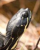 Turtle Head Stock Images